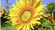 UDI - Sonnenblume